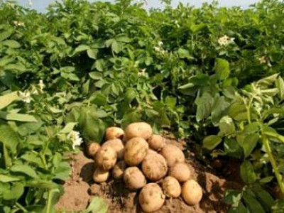 У Камені-Каширському безробітним розповіли про нові технології вирощування картоплі