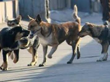 У Камені-Каширському відловлюватимуть безпритульних псів