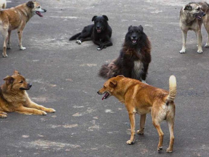 Зграя собак