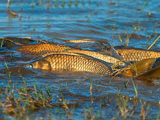 Цьогоріч нерест риби– під загрозою
