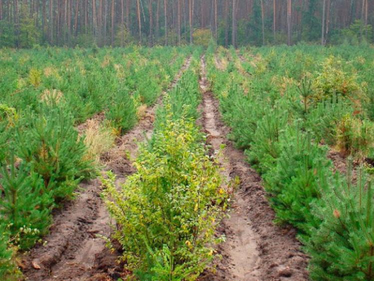 У Камінь-Каширському районі закінчують садити молодий ліс