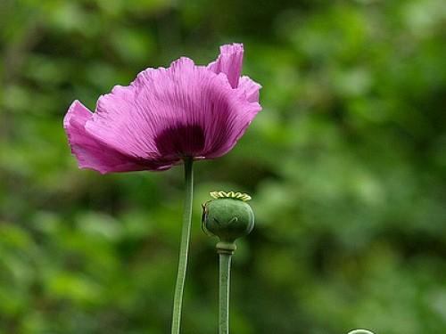 Поліцейські «жнивують»: знову виявили рослини, схожі на снодійний ...