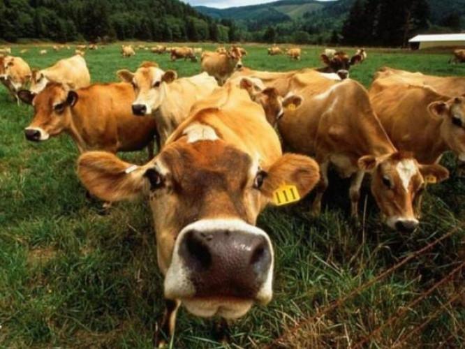 Господарям надають дотації за вирощування молодняка великої рогатої худоби