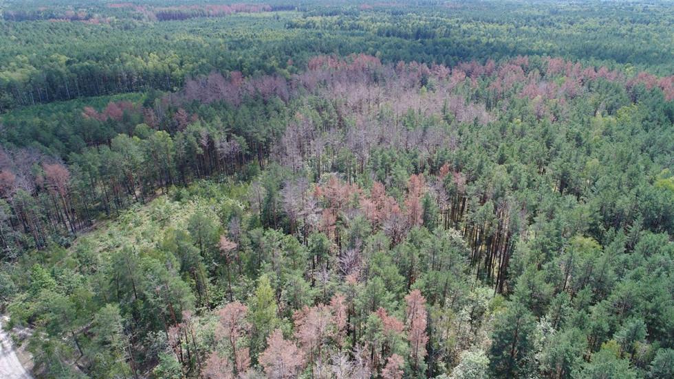 Всихання лісів на Волині