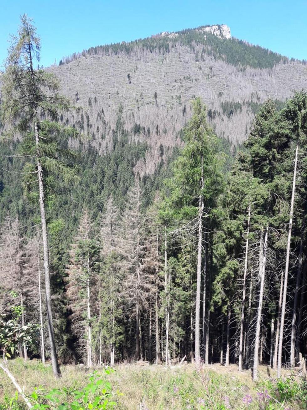 Всихання лісів у Словаччині
