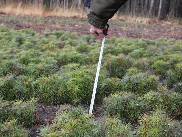 Як «вирощується» ліс у розсадниках Камінь-Каширського лісгоспу