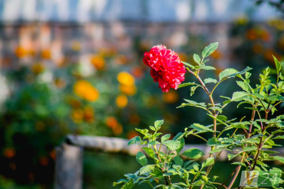 У кожному дворі - квіти...